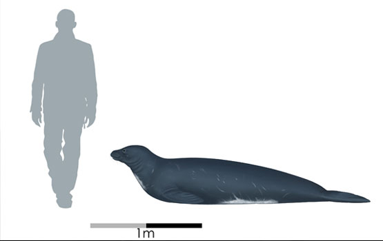 Scale illustration. The extinct Eomonachus belegaerensis is thought to have resembled the Hawaiian monk seal. Image Credit: illustration by Jaime Bran for Te Papa Museum.
