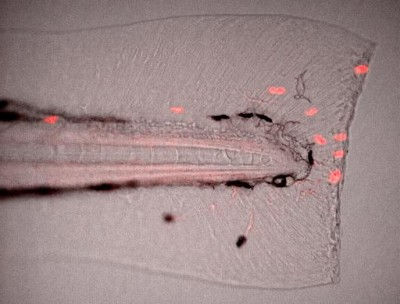 Red-fluorescing leukocytes migrating and lining up along a fresh wound edge at the tip of a zebra fish tail.