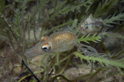 The southern bottletail squid can grow up to four centimetres in length and are found around the Spencer Gulf in Southern Australia, with healthy populations in Port Phillip Bay.