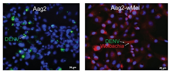 New insights into how a virus-blocking bacterium operates in