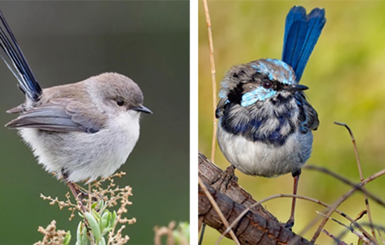 seasonal colour change in birds