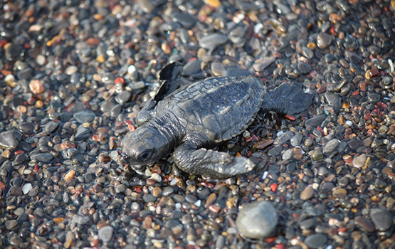 Olive ridley sea turtle hatchling at Ostional, Costa Rica
