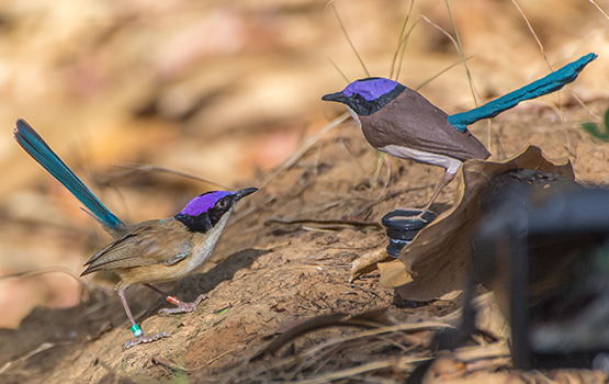 Resident breeder male purple-crowned fairy-wren investigating a 3D-printed model representing a male intruder in nuptial plumage in his territory. Photo credit: Laurent Lermusiaux.
