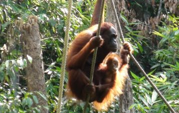 Monkeys in the Borneo tropical forest