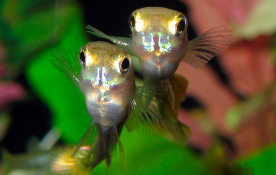 Guppy-fish