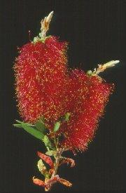 Bottlebrush photo