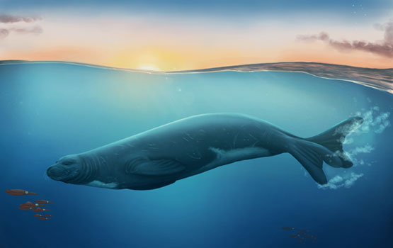 An artist's impression of Eomonachus belegaerensis Image Credit: illustration by Jaime Bran for Te Papa Museum.