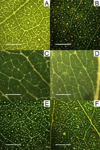 Eucalyptus venation. Image: A/Professor Martin Burd.