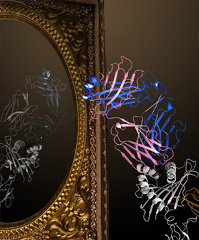 TCR-pMHC recognition - through the looking glass. The image shows a brightly colored canonical interaction between TCR and pMHC which is conducive to signal transduction. The faded mirror image shows a reversed TCR-pMHC interaction which is unable to support signal transduction and thus T cell activation. (Created by Dr. Erica Tandori (Rossjohn lab))