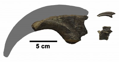 The claw of a giant meat-eating dinosaur (left) dwarfs the claw and vertebra (right) of a cat-sized killer