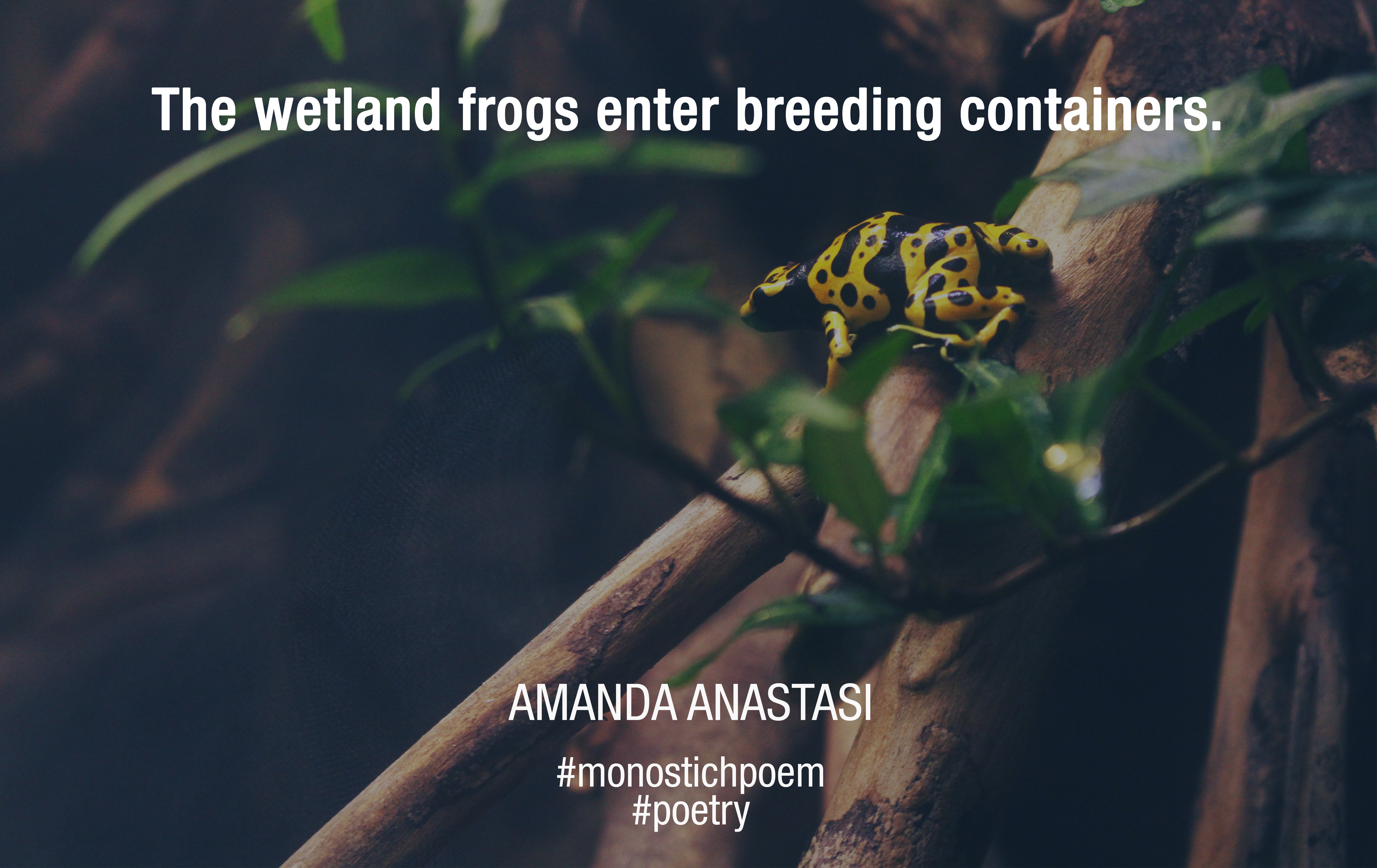The wetland frogs enter breeding containers.