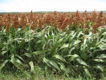 root crop