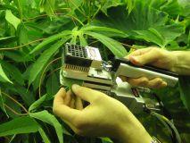 cassava leaf testing