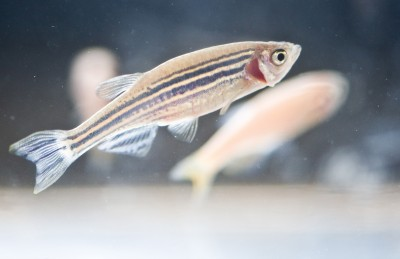 Zebrafish: the stars of the show