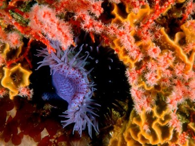 A beautifully colored purple sea anemone awaits passing prey, which it stings with its venom-filled tentacles