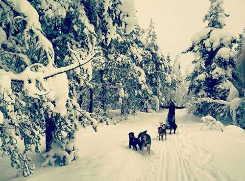 Dogsledding in the Lapland region of Sweden. Image by Anthony Langford.