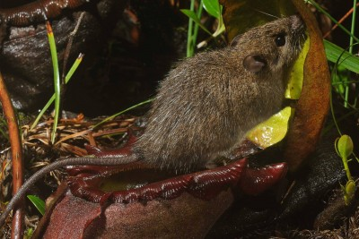 Summit rat feeding at a pitcher plant. Photo: Chien C. Lee