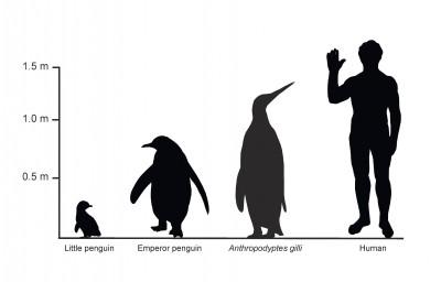 Penguin vs Human Height Guide