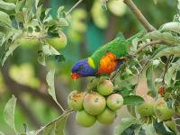 Rainbow Lorikeet. Image: Dr Rohan Clarke.